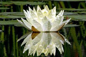 Lotus003
