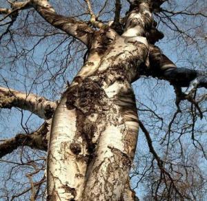 tree_spirit